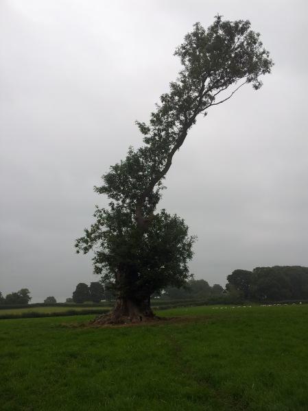 Cock tree